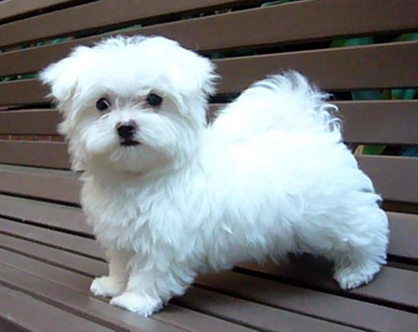 Maltese Dog Puppies